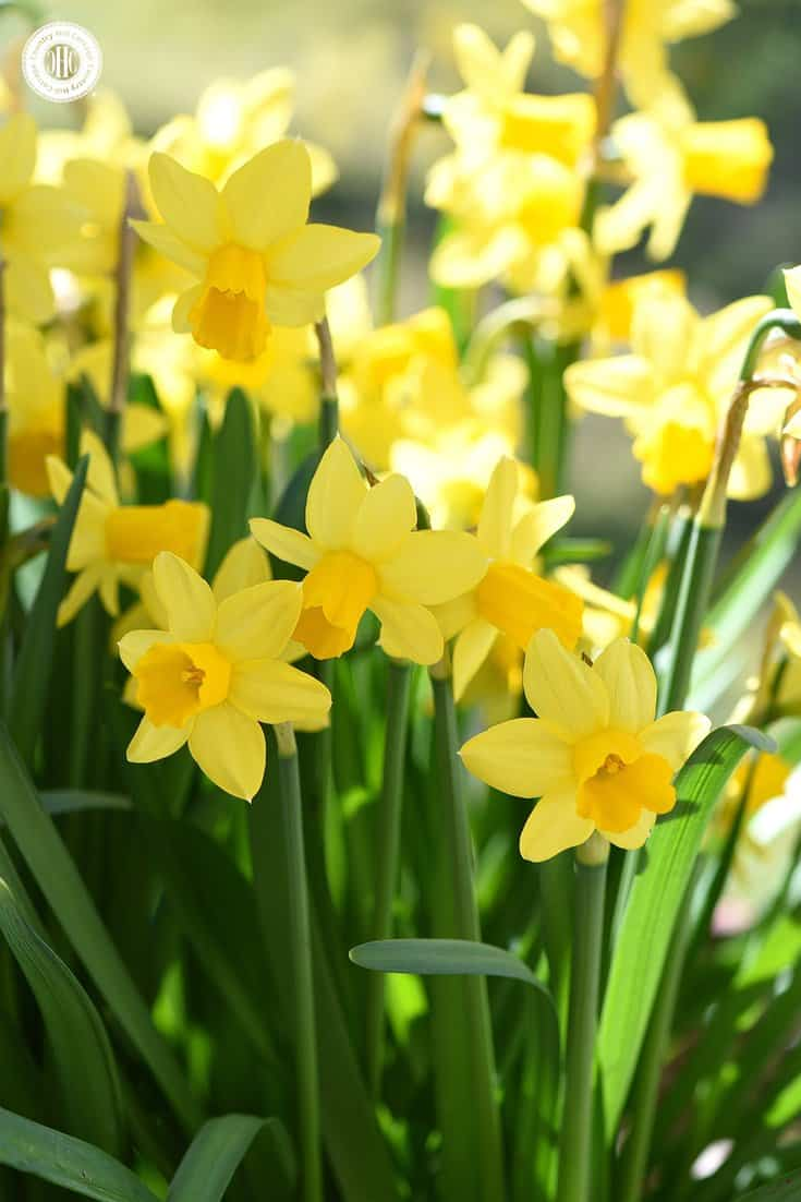 Our Spring at Sizergh print was inspired by the beautiful daffodils that can be found growing in thick bunches in the garden surrounding Sizergh Castle in Cumbria. #spring #daffodils   countryhillcottage.com