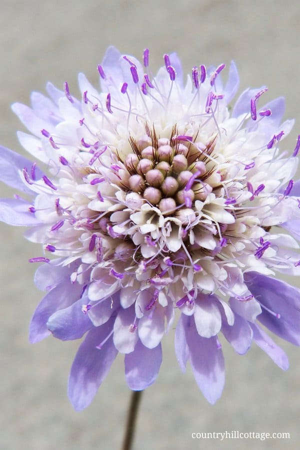 This pretty scabious flower inspired us to create our Chelsea Blooms print. Scabious flowers are one of the prettiest blooms. Their delicate, ruffled petals give these blooms a beautiful and dreamy vintage look. Learn more about the this pattern at our blog. #scabious #spring #flower #garden #florals | countryhillcottage.