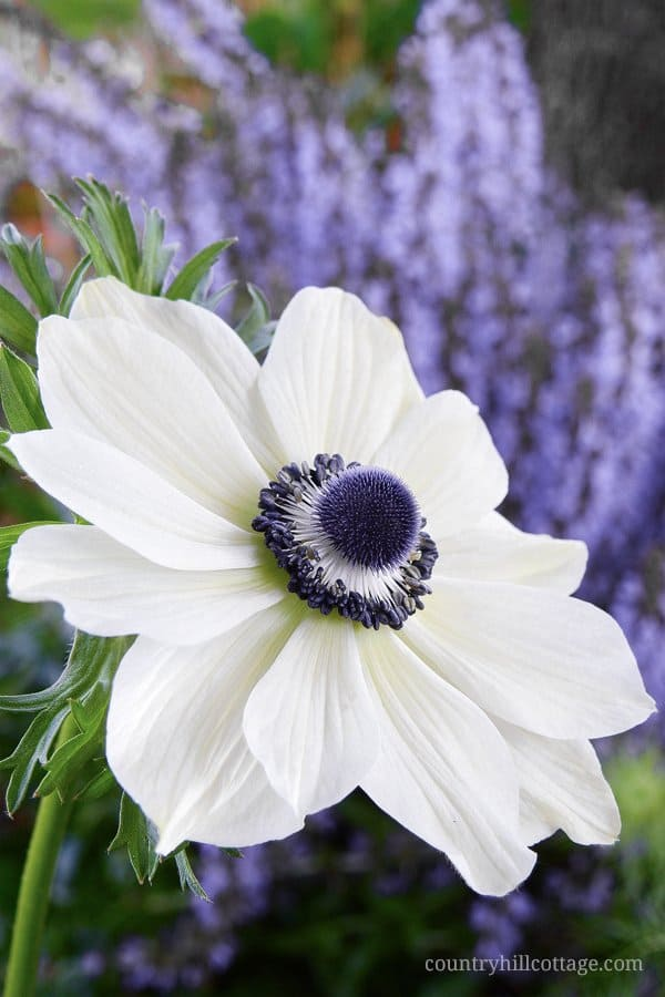 This beautiful white anemone inspired us to create our Chelsea Blooms print. Anemones are one of the most eye-catching spring bloomers, and the black centres add an interesting accent to the design. Learn more about the this pattern at our blog. #anemone #spring #flower #garden #florals | countryhillcottage.com