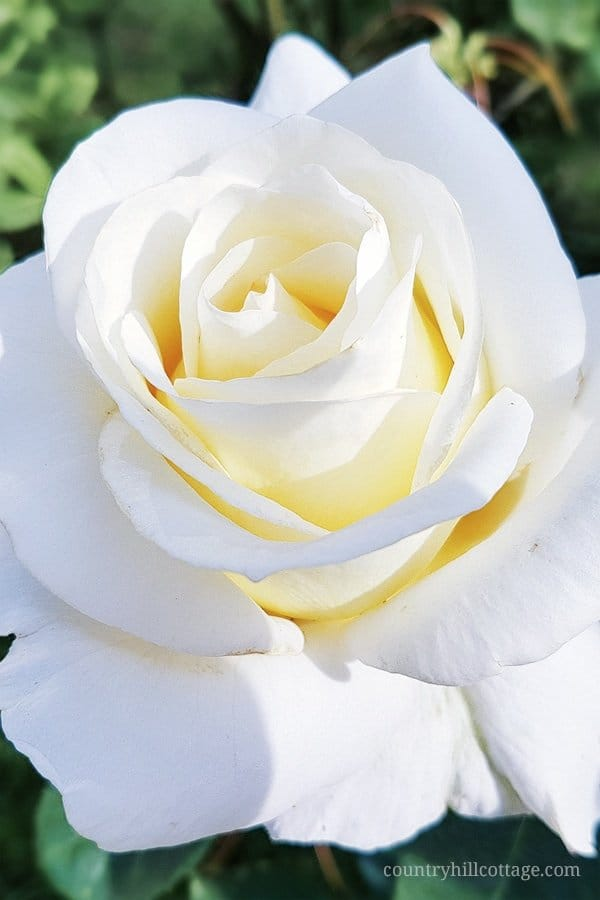 This gorgeous white rose inspired us to create our Chelsea Blooms print. Learn more about the this pattern at our blog. #rose #spring #flower #garden #florals | countryhillcottage.