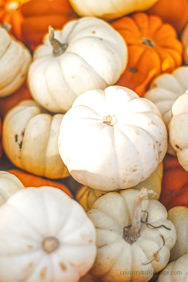 Beautiful pumpkins, squash, and cute gourds are quintessential for autumn inspired décor. These pretty orange and white pumpkins were the inspiration behind our Prestwood Pumpkin print. #pumpkins #pumpkinpatch #autumn #fall #garden | countryhillcottage.com