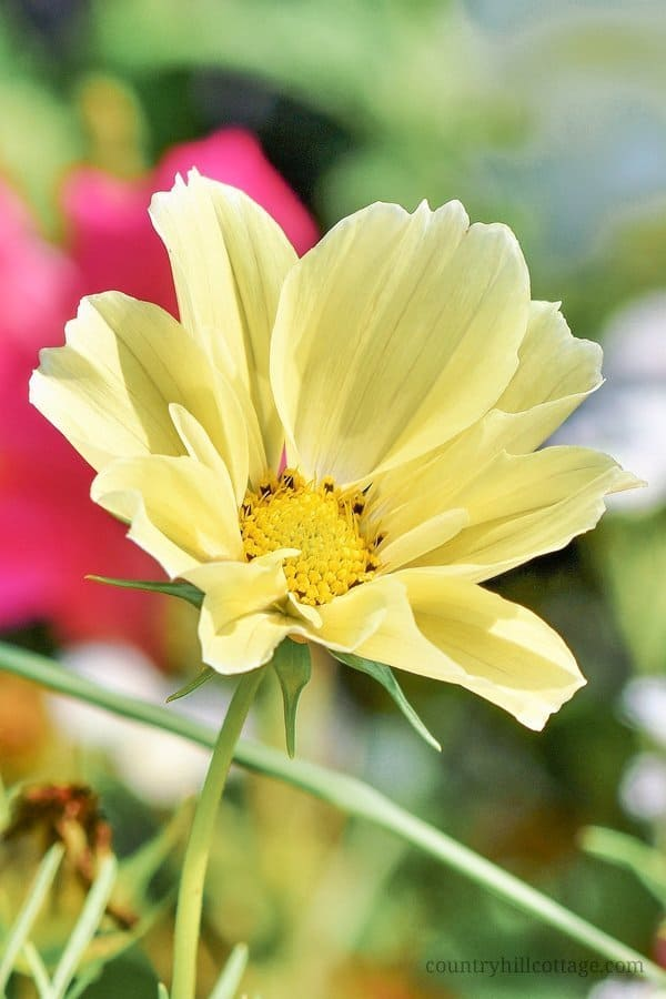 Cosmos flowers bloom in abundance from August to October. While the pink and white varieties are most common, we couldn't resist to include a drawing of this gorgeous pastel yellow cosmos Xanthos in our Prestwood Pumpkin design. #cosmos #flower #flowerphotography #garden #autumn #fall | countryhillcottage.com